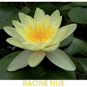 Nénuphar jaune racine nue