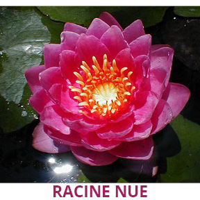 nénuphar rose racine nue