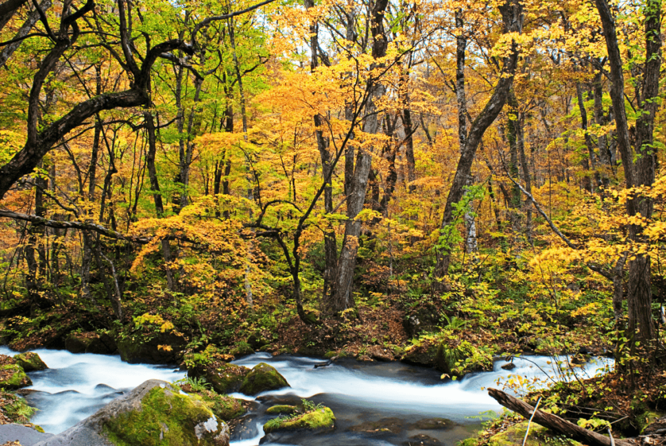 Yellow autumn leaves at Oirase Stream in Japan's Aomori Prefecture