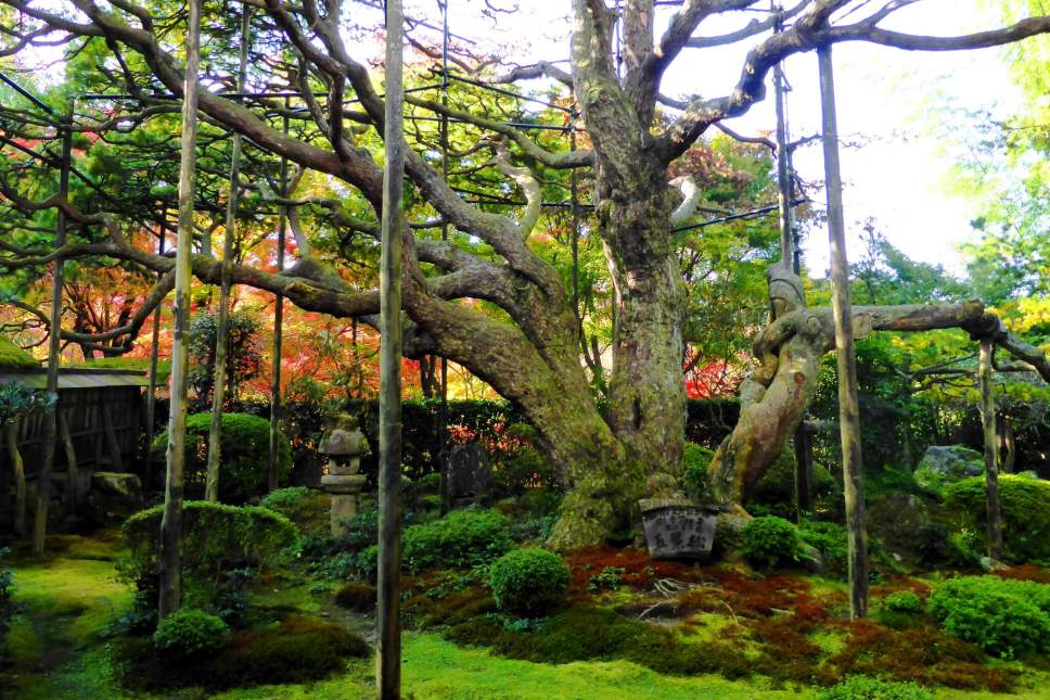Hosen-in temple in Kyoto is famed for its iconic pine, goyo no matsu