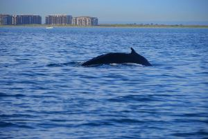 Whales are found year round in the Bay of La Paz - a great choice for a family summer holiday