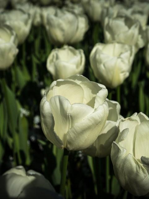 Tulipes Hollande Keukenhof