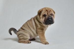 シャー・ペイの子犬