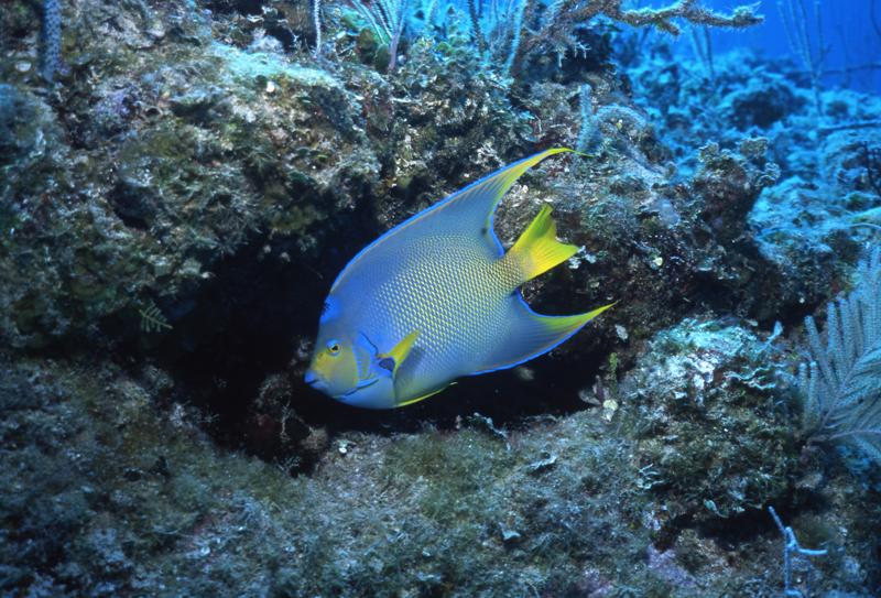 Queen angelfish-Exumas, Bahamas