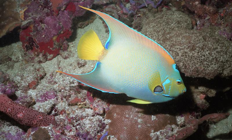 Queen angelfish-Tobago