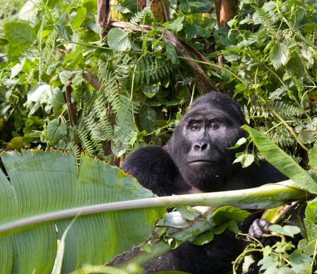 Silverback Gorilla 01