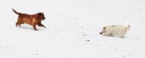 Golden Retriever and Dakota Sport Retriever in the snow