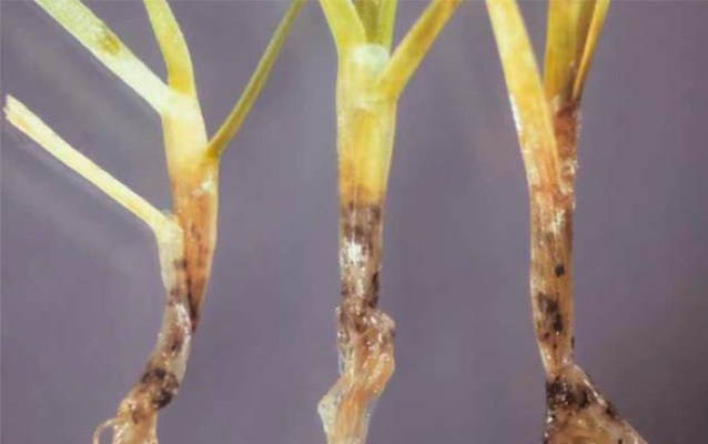 Anthracnose or Basal Rot