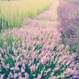 Lavender fields at work.