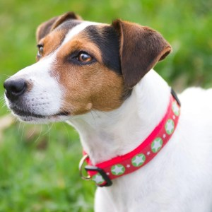 Red Star Collar for your dog