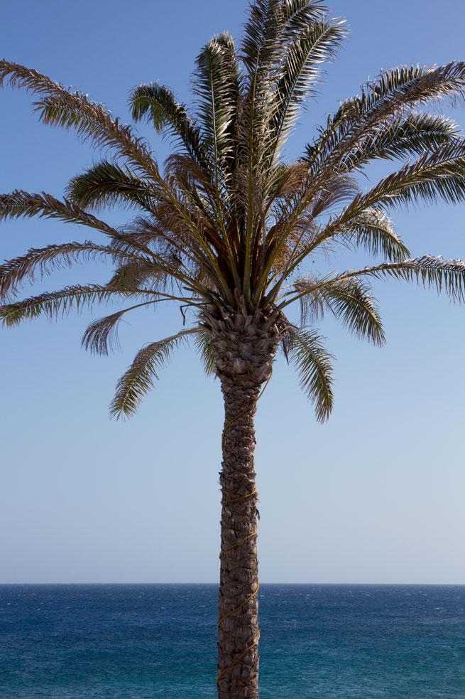 lanzarote palm tree