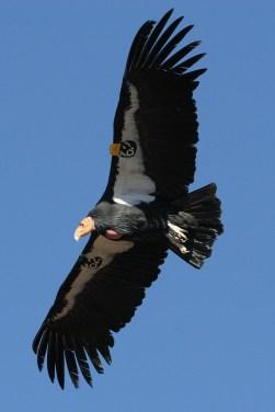california-condor-581277_1280