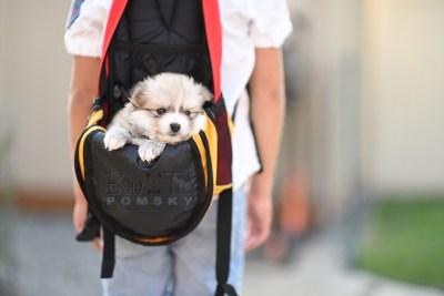 8weeks-bowtiepomsky.com-Puppy-Pomsky-Pomskies-for-sale-Pomsky-breeder-Spokane-WA(1)