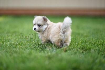 8weeks-bowtiepomsky.com-Puppy-Pomsky-Pomskies-for-sale-Pomsky-breeder-Spokane-WA(4)