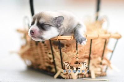 Bow Tie Pomsky Bowtie Puppy
