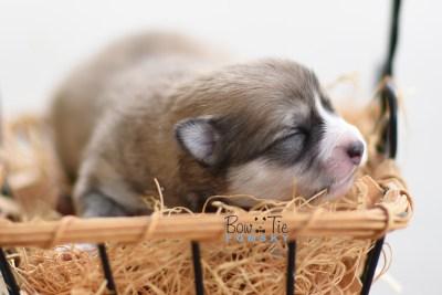 Bow Tie Pomsky Bowtie Puppy 10