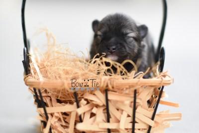 Bow Tie Pomsky Bowtie Puppy 7