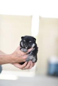 bowtiepomsky.com Puppy Pomsky Pomskies for sale breeder Spokane WA Pooper (10)