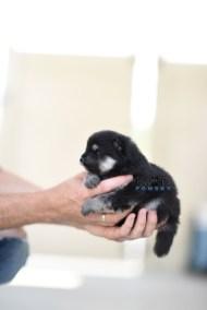bowtiepomsky.com Puppy Pomsky Pomskies for sale breeder Spokane WA Pooper (9)