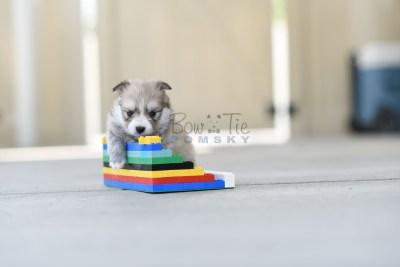 bowtiepomsky.com Puppy Pomsky Pomskies for sale breeder Spokane WA Troble (4)