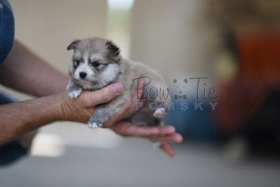 bowtiepomsky.com Puppy Pomsky Pomskies for sale breeder Spokane WA Troble (8)