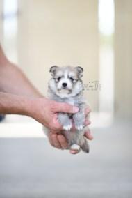 bowtiepomsky.com Puppy Pomsky Pomskies for sale breeder Spokane WA Troble (9)