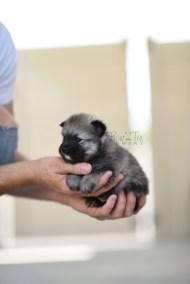 bowtiepomsky.com Puppy Pomsky Pomskies for sale breeder Spokane WA bear (9)