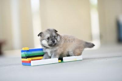 bowtiepomsky.com Puppy Pomsky Pomskies for sale breeder Spokane WA racoon (7)