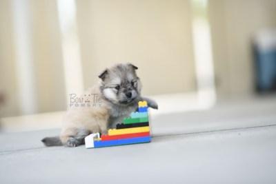 bowtiepomsky.com Puppy Pomsky Pomskies for sale breeder Spokane WA racoon (8)