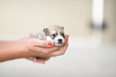 bowtiepomsky.com pomsky pomskies puppy for sale puppies cute fluffy adorable breeder spokane wa designer  (1)