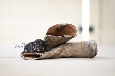 bowtiepomsky.com pomsky pomskies puppy for sale puppies cute fluffy adorable breeder spokane wa designer  (10)