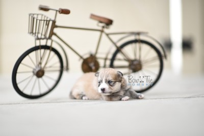 bowtiepomsky.com pomsky pomskies puppy for sale puppies cute fluffy adorable breeder spokane wa designer  (4)