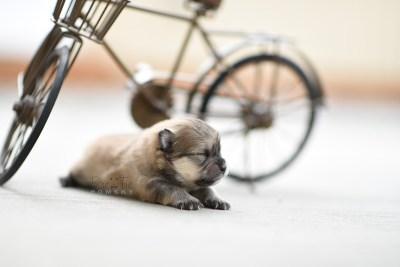 bowtiepomsky.com pomsky pomskies puppy for sale puppies cute fluffy adorable breeder spokane wa designer  (6)