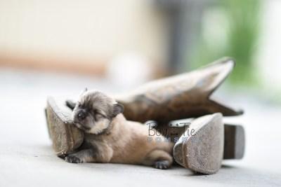 bowtiepomsky.com pomsky pomskies puppy for sale puppies cute fluffy adorable breeder spokane wa designer  (8)