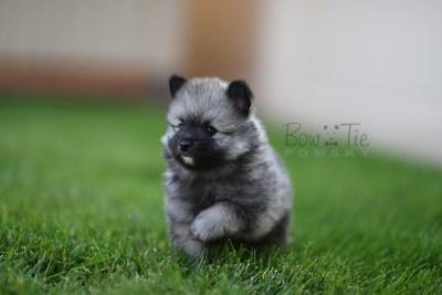 puppy-2-bowtiepomsky.com-Puppy-Pomsky-Pomskies-for-sale-breeder-Spokane-WA(1)