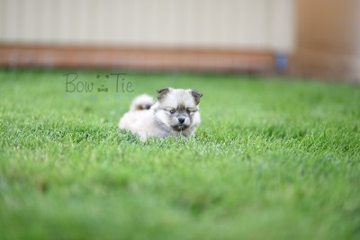 puppy-3-bowtiepomsky.com-Puppy-Pomsky-Pomskies-for-sale-breeder-Spokane-WA(4)