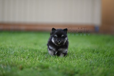 puppy-4-bowtiepomsky.com-Puppy-Pomsky-Pomskies-for-sale-breeder-Spokane-WA(2)