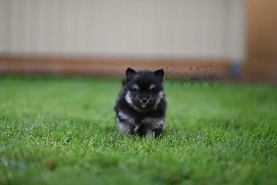 puppy-4-bowtiepomsky.com-Puppy-Pomsky-Pomskies-for-sale-breeder-Spokane-WA(2)