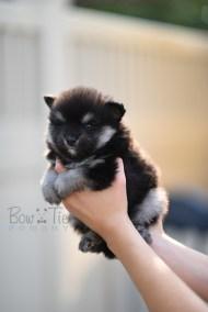puppy-4-bowtiepomsky.com-Puppy-Pomsky-Pomskies-for-sale-breeder-Spokane-WA(4)
