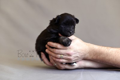 puppy10 BowTiePomsky.com Bowtie Pomsky Puppy For Sale Husky Pomeranian Mini Dog Spokane WA Breeder Blue Eyes Pomskies photo13