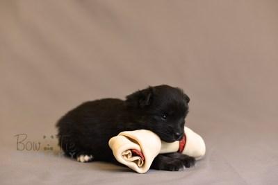 puppy10 BowTiePomsky.com Bowtie Pomsky Puppy For Sale Husky Pomeranian Mini Dog Spokane WA Breeder Blue Eyes Pomskies photo19