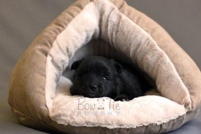 puppy10 BowTiePomsky.com Bowtie Pomsky Puppy For Sale Husky Pomeranian Mini Dog Spokane WA Breeder Blue Eyes Pomskies photo23