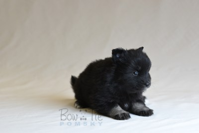 puppy10 BowTiePomsky.com Bowtie Pomsky Puppy For Sale Husky Pomeranian Mini Dog Spokane WA Breeder Blue Eyes Pomskies photo28