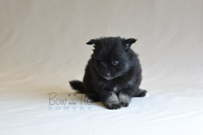 puppy10 BowTiePomsky.com Bowtie Pomsky Puppy For Sale Husky Pomeranian Mini Dog Spokane WA Breeder Blue Eyes Pomskies photo32