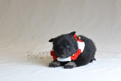 puppy10 BowTiePomsky.com Bowtie Pomsky Puppy For Sale Husky Pomeranian Mini Dog Spokane WA Breeder Blue Eyes Pomskies photo35