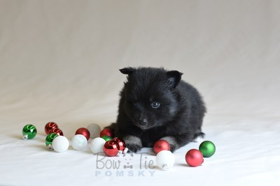 puppy10 BowTiePomsky.com Bowtie Pomsky Puppy For Sale Husky Pomeranian Mini Dog Spokane WA Breeder Blue Eyes Pomskies photo40