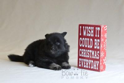 puppy10 BowTiePomsky.com Bowtie Pomsky Puppy For Sale Husky Pomeranian Mini Dog Spokane WA Breeder Blue Eyes Pomskies photo43
