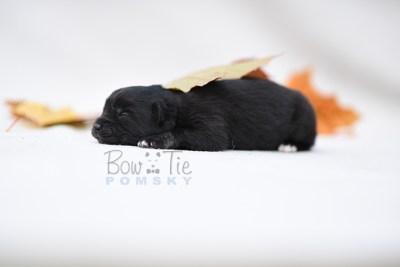 puppy10 BowTiePomsky.com Bowtie Pomsky Puppy For Sale Husky Pomeranian Mini Dog Spokane WA Breeder Blue Eyes Pomskies photo8