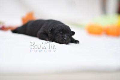 puppy10 BowTiePomsky.com Bowtie Pomsky Puppy For Sale Husky Pomeranian Mini Dog Spokane WA Breeder Blue Eyes Pomskies photo9