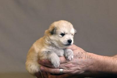 puppy11 BowTiePomsky.com Bowtie Pomsky Puppy For Sale Husky Pomeranian Mini Dog Spokane WA Breeder Blue Eyes Pomskies photo11